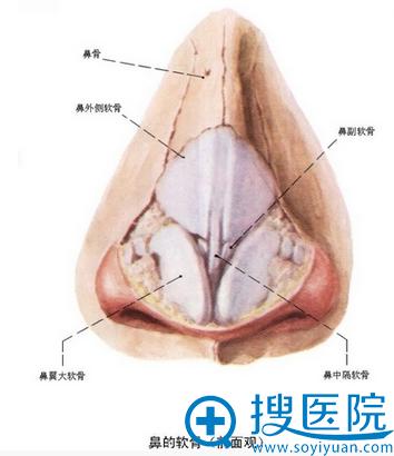 鼻子的结构分析图