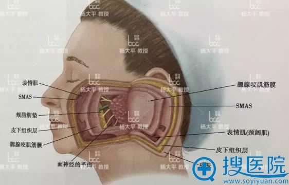 smas筋膜层脸部分解图