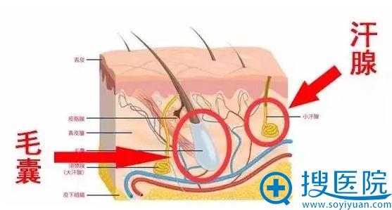 汗腺和毛囊的位置
