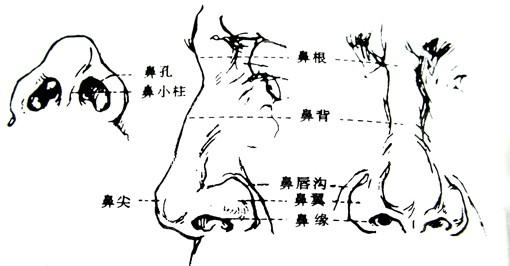 鼻外观形体结构图