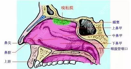 鼻部构造图
