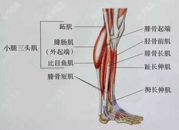 小腿肌肉各部位示意图