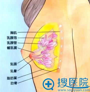 乳房组织的构成