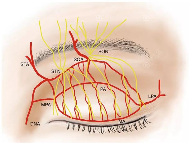 上眼睑神经与血管示意图